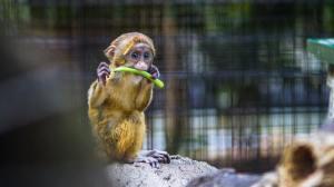Monkey eating a stick.
