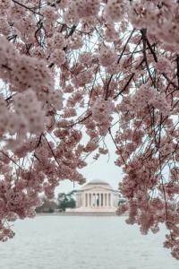 Cherry blossoms in DC will give the capital cool points in the fight known as Washington DC vs NYC.