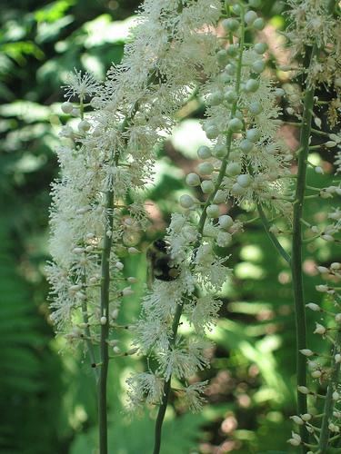 Actaea racemosa/Black Cohosh