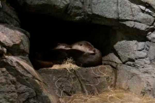 otters sleep