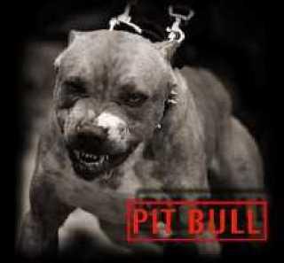 scary pitbull