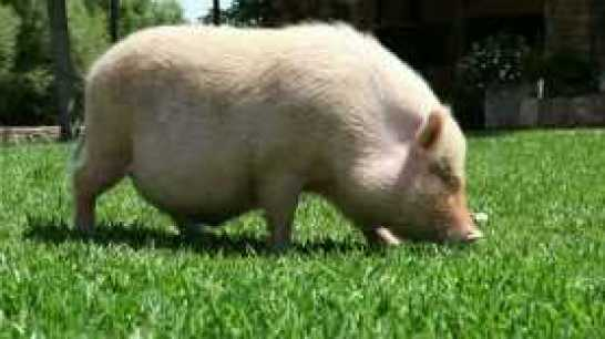 fat-pig