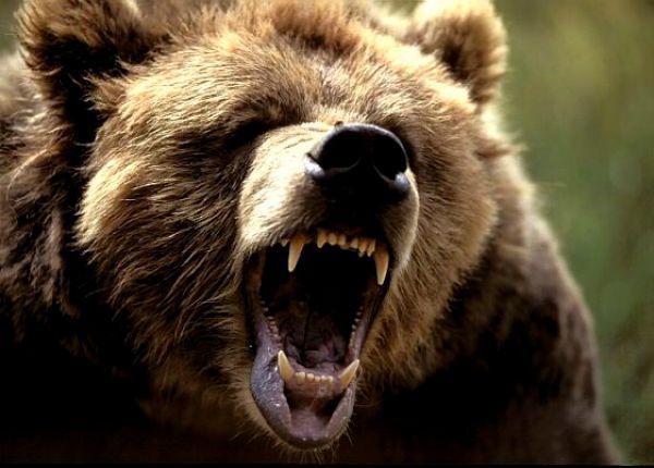 angry-bear1
