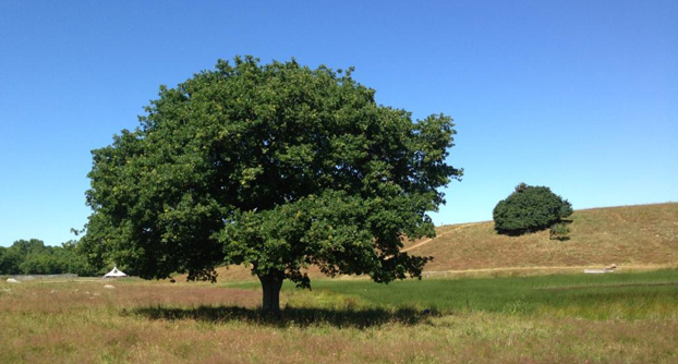 Egetræ