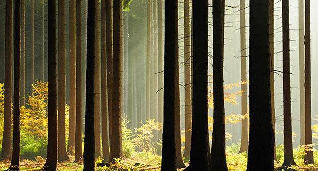 træer skov
