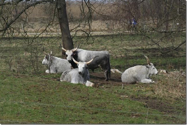 Ungarsk grå okse (2)