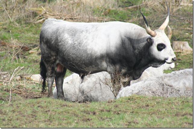 Ungarsk grå okse (9)
