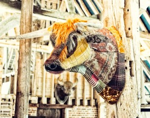 highland bull in barn
