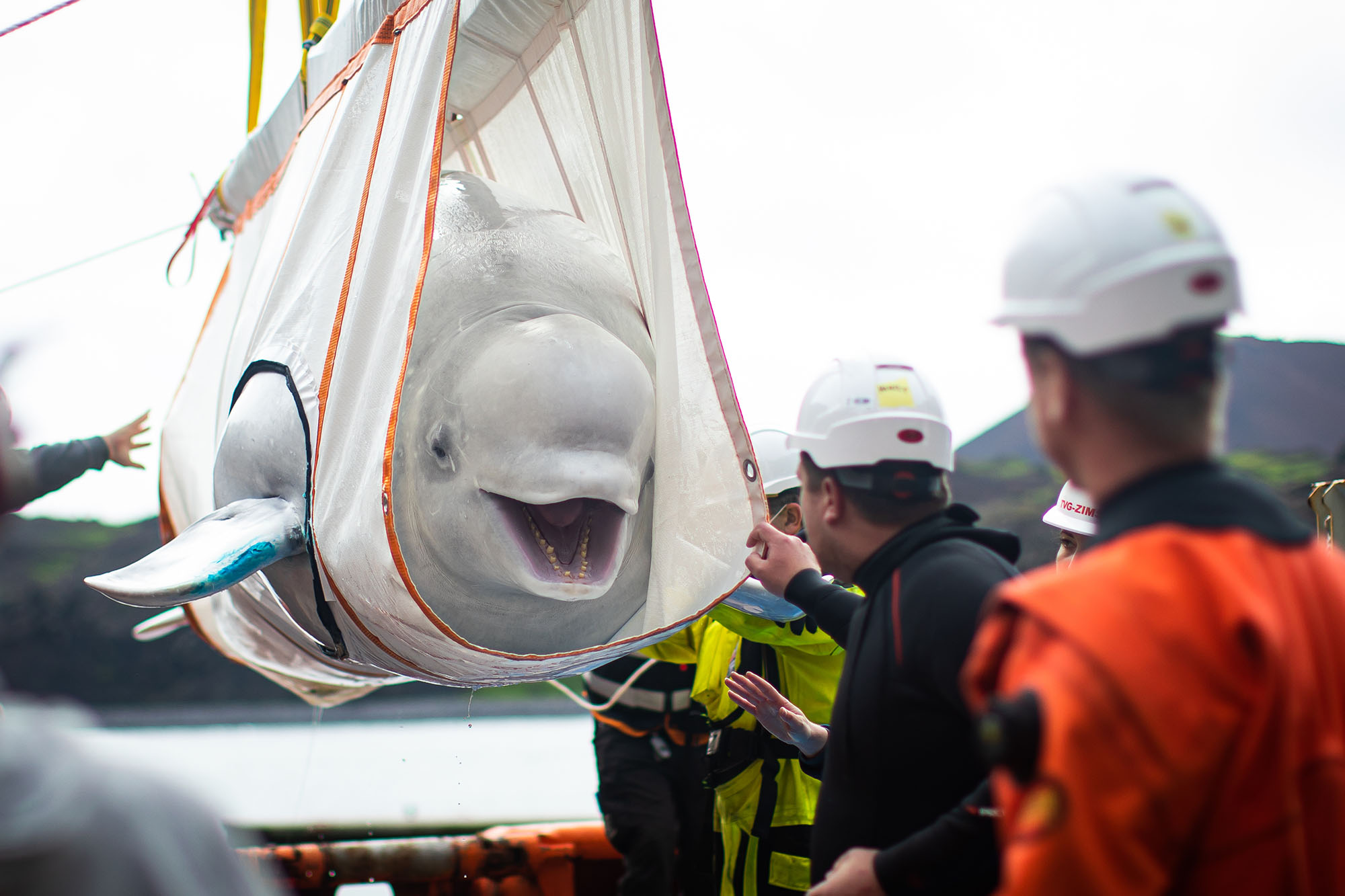 Beluga whales smile as they return to sea after years in captivity