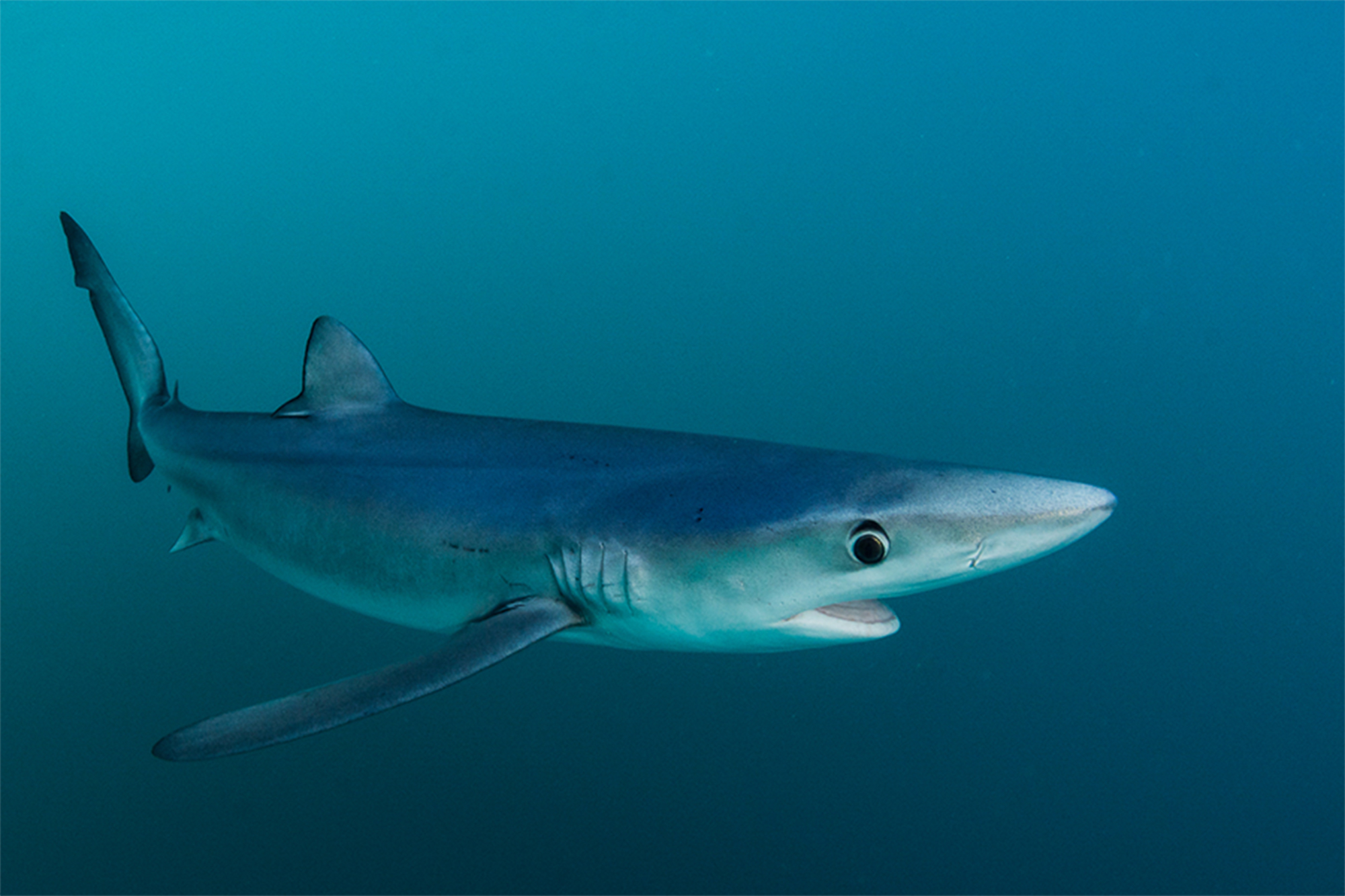Blue shark spotted swimming in marsh by Cape Cod resident