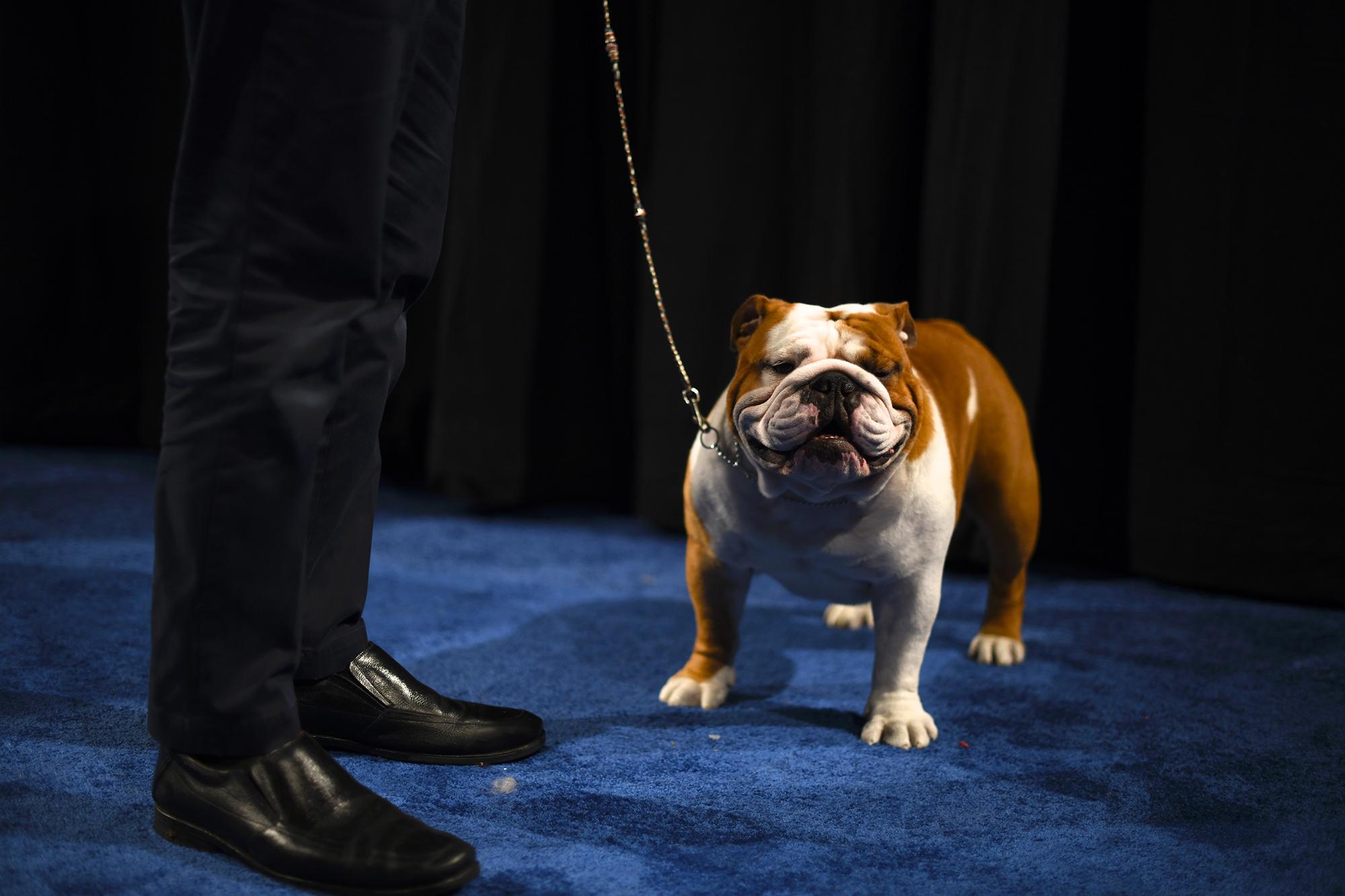 national dog show 2020 - photo #6