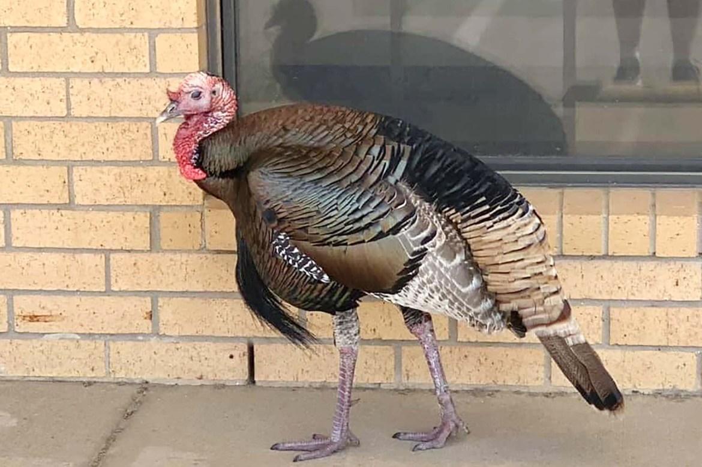 Beloved Texas town turkey found dead with wrung neck 1