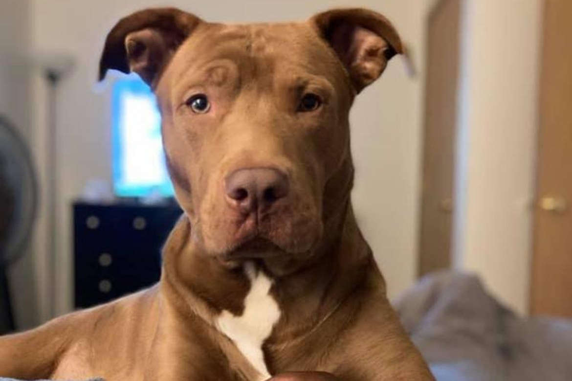 Missing pit bull mistakenly euthanized in tragic animal control mix-up 1