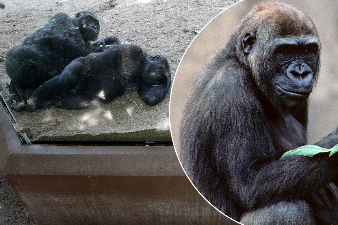 Two gorillas test positive for COVID-19 at San Diego Zoo 1