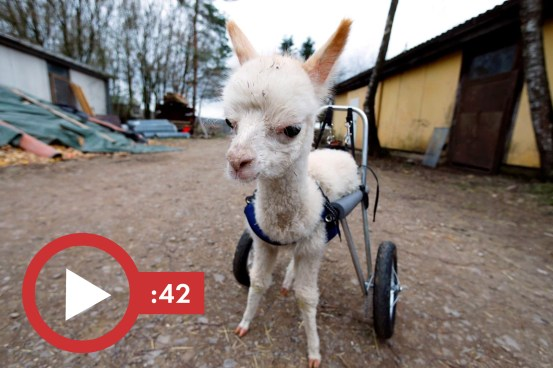 Orphaned and disabled, the baby alpaca rides again with its own pair of wheels