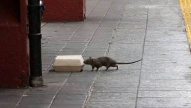 NYC vermin complaints surge as COVID-19 restrictions ease