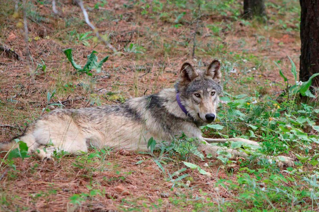 Wolves scare deer and reduce auto collisions, study says
