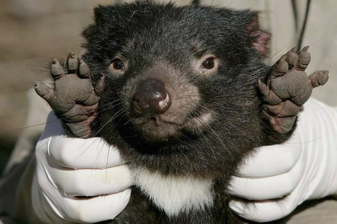 Tasmanian Devil Facing Disease Crisis
