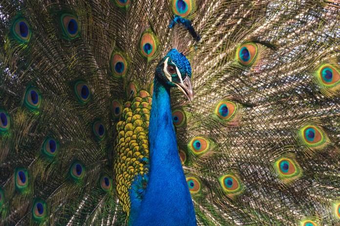 peacock los angeles 02