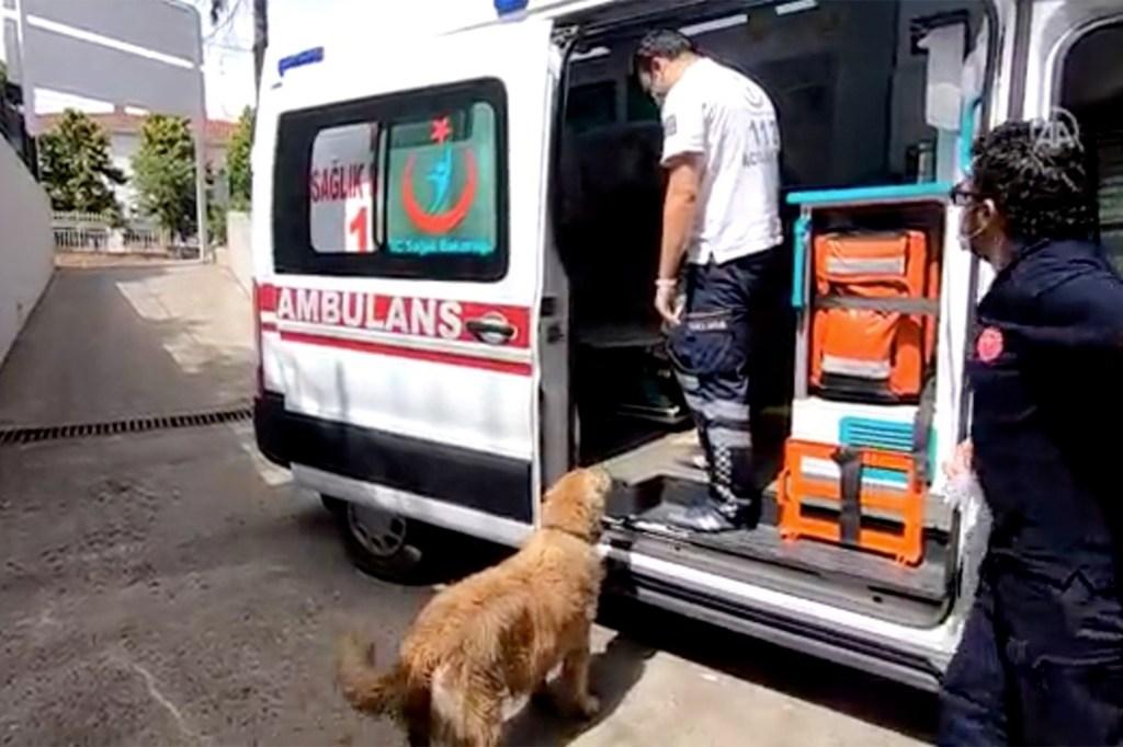 Loyal dog chases ambulance taking sick owner to hospital