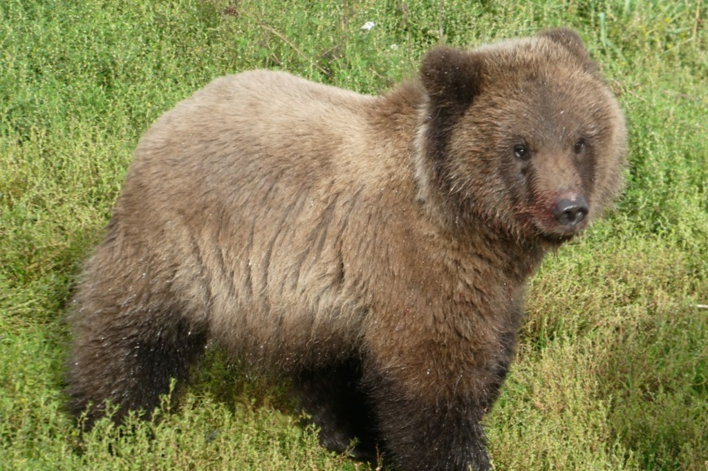Brown bear cub 909 stands by a riven fattening up before hibernation at Katmai National Park and Preserve in Alaska September 5, 2021.