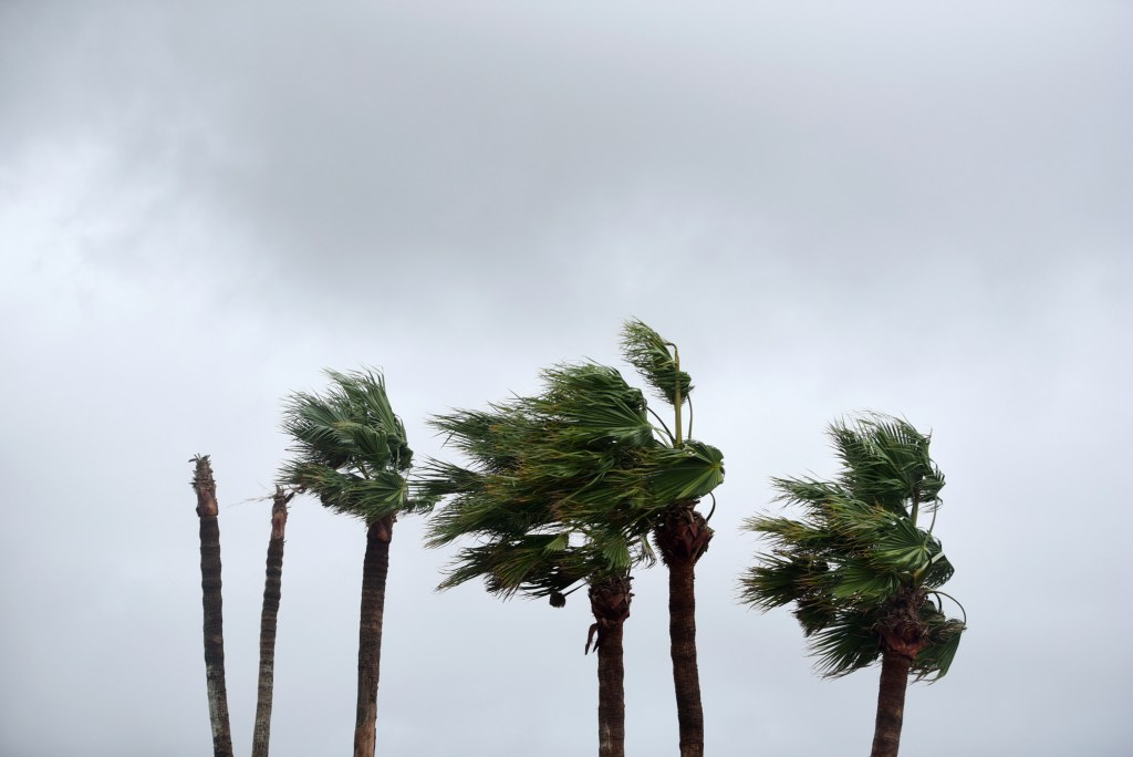 Palm trees in Corpus Christi blow in the wind ahead of Tropical Storm Nicholas.