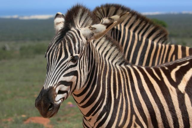 Zebra (not pictured) escaped from Upper Marlborough, Maryland.