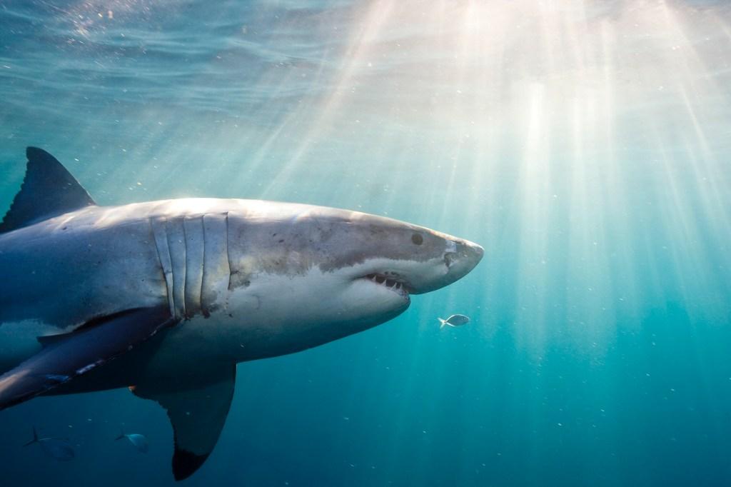 Underwater view of Great White Shark.