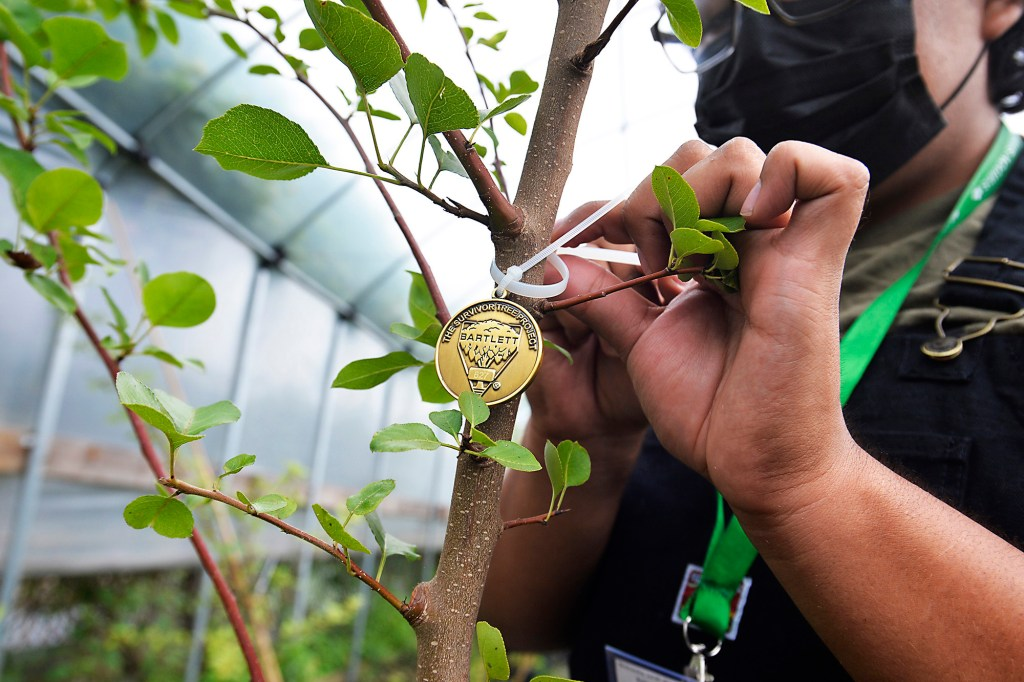 """Students like seniors Cristian Gilces (black hair) and Shirley Quach (straight brown hair)-who are attaching """"Survivor Tree Medallions-at the John Bowne High School, under the guidance of Assistant Principal of the Agriculture Department Patrycja Zbrzezny, grow and care for the 9/11 """"Survivor Trees"""" which find special homes of hope and remberance all over the world. 63-25 Main St., Queens."""