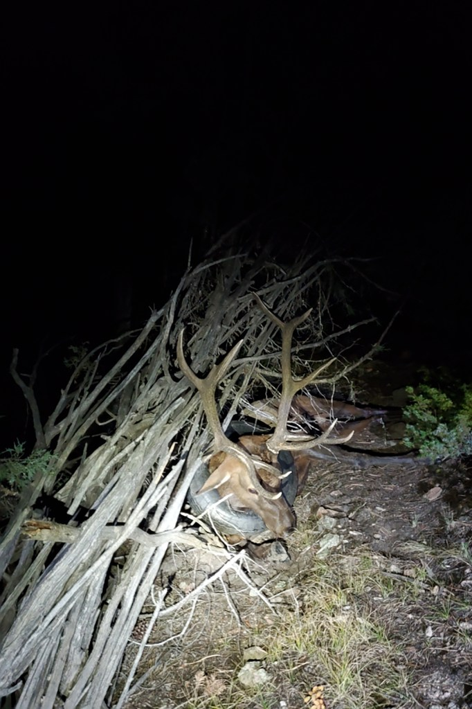Colorado Wildlife officers found the bull elk was resting on a pile of sticks before tranquilizing it.