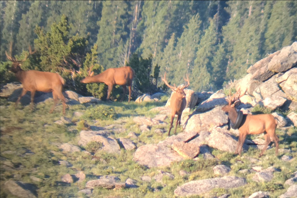 The bull elk was first spotted by Colorado Wildlife officer Jared Lamb in July 2019.
