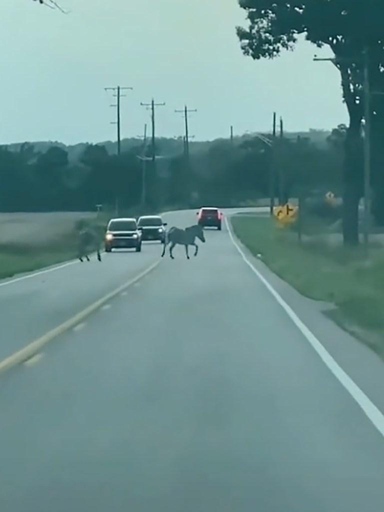 Zebras escape from Illinois pumpkin farm