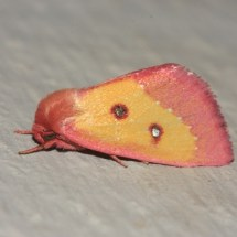 The pink star moth (Derrima stellata) is rare in the state. Photo: Tom Murray, 2011, accessed from BugGuide, http://bugguide.net/node/view/549324