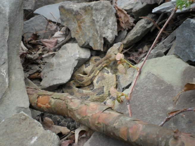 Yellow phase rattler, photo by Amy McGinnis, State Parks