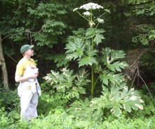 Giant hogweed can grow more than 14 feet tall. If you see it, do not touch it! Photo by DEC