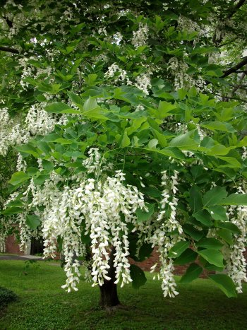 yellowwood-flowers.jpg