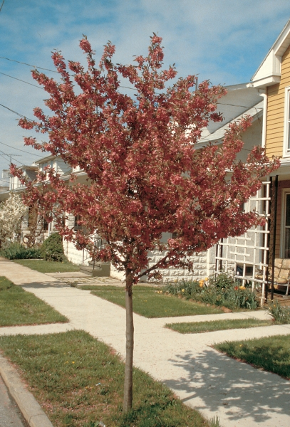 crabapple cu woody plants database