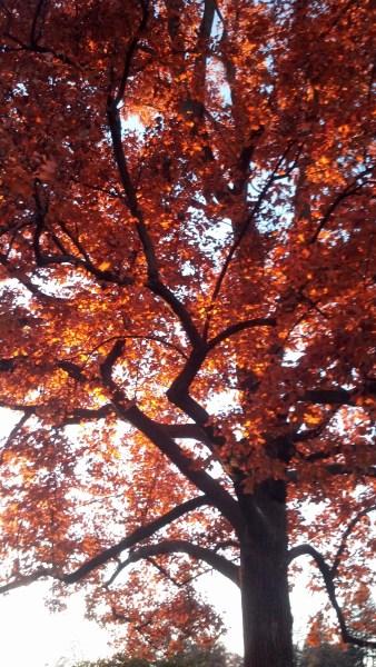 Tulip tree fall color Beth Corrigan