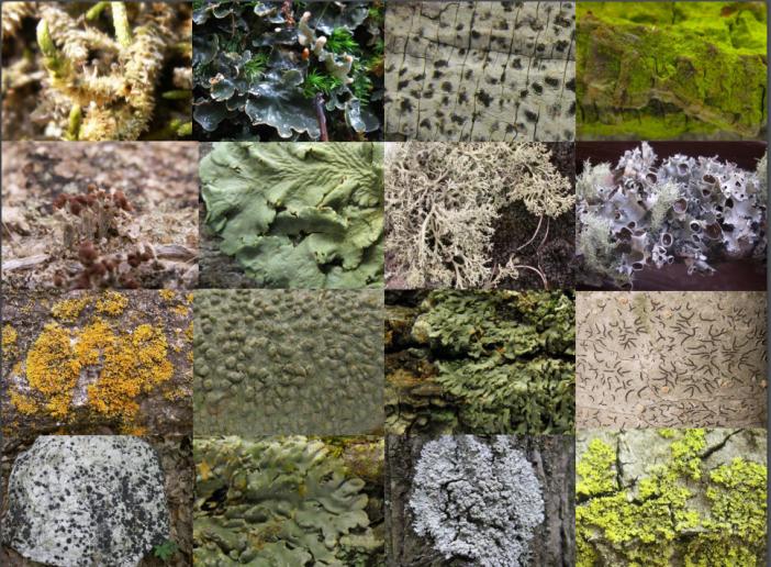 Lichens collage Perlmutter and Rivas Plata NC State