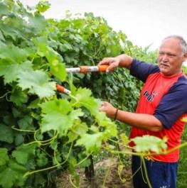 szőlőben kötözés
