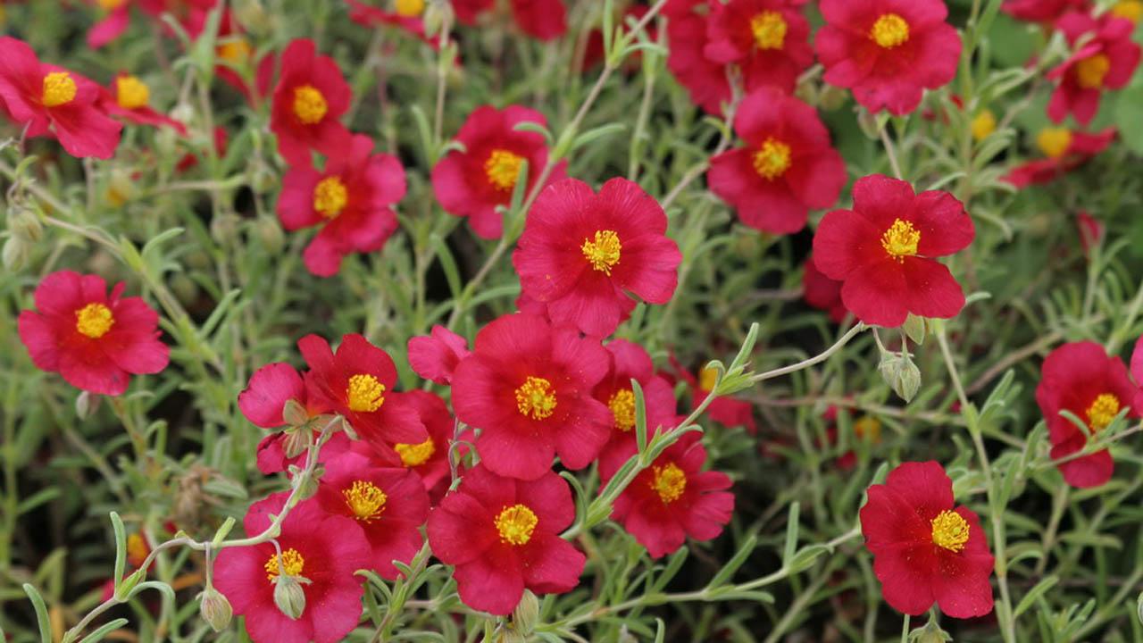 Napvirágok