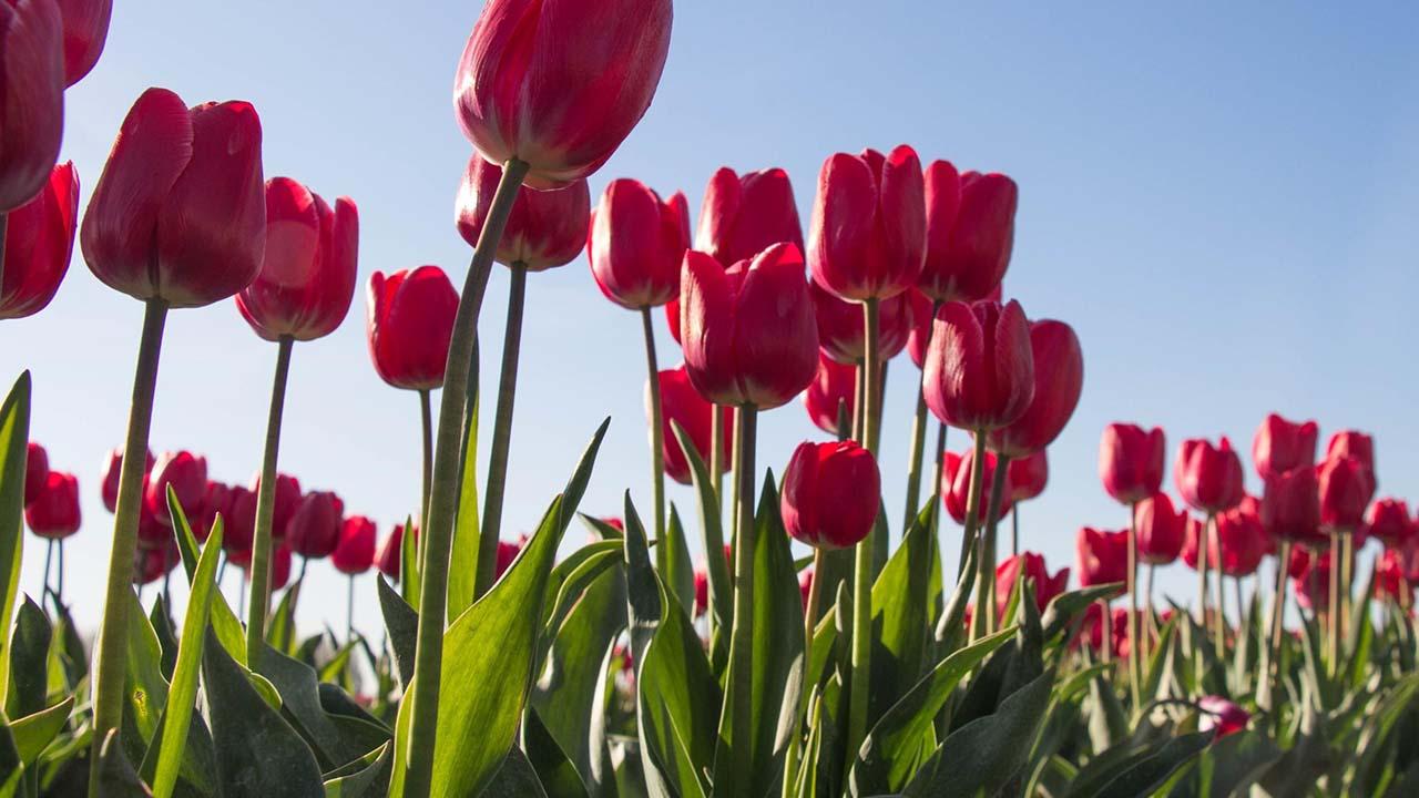 Nyílj szép tulipán…