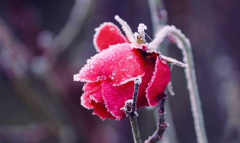 rózsák téli védelme