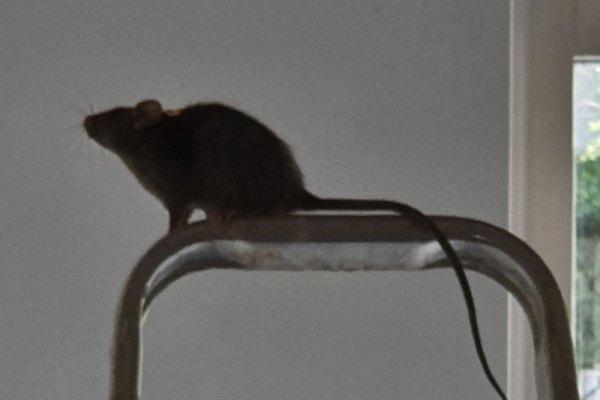 De Rat