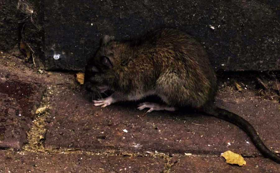 One of many New York City rats in action.