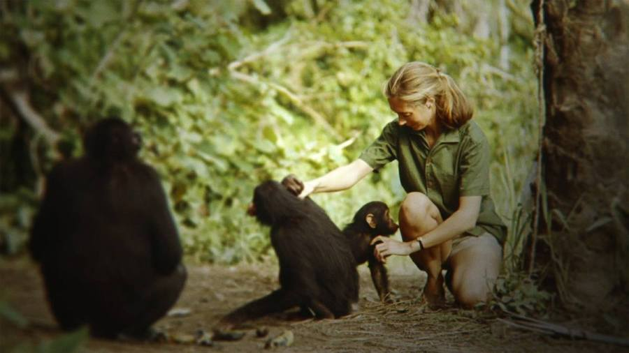 Jane, a new documentary about Jane Goodalls 1957 expedition to Tanzania to find more information about chimpanzees and human ancestry opens in theatres on Friday Oct. 20.