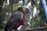 We found a nice bird sanctuary in Te Anau. This is a New Zealand kaka (parrot) eating an apple.