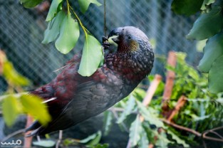 New Zealand kaka (parrot) being cheeky.