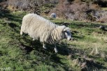 The sheep were skittish, but I managed to get pretty close to this one without endangering myself.