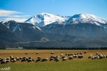 Some of the many thousands, perhaps millions of sheep we saw in New Zealand, here in Canterbury (in the area of Mt Somers and Mt Hutt, we believe)